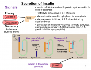 secretion of insulin